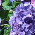 アジサイ 花の姿