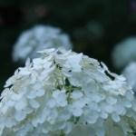 アジサイ 白花 花の様子