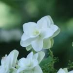 カシワバアジサイ 花のアップ