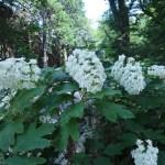 カシワバアジサイ 花の咲いている様子