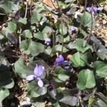 ビオラ ラブラドリカ 花の咲いている様子