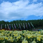 パンジー 花壇に植えられたパンジーと鯉のぼり