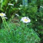 ヒメコスモス 花と葉の様子
