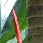 トラフアナナス 花の様子