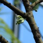 ゴニオタラムス アムイオン 花の咲いている様子