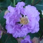 オオバナサルスベリ 花の姿