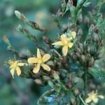 オトギリソウ 花の姿