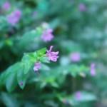 メキシコハコヤナギ 花の姿