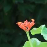 サンゴアブラギリ 花の様子