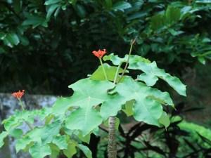 サンゴアブラギリ 花の咲いている様子