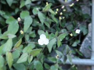 ブライダルベール 花の様子
