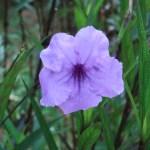 ヤナギバルエラソウ 花の姿