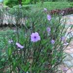 ヤナギバルエラソウ 花の咲いている様子