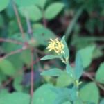 アキノキリンソウ 花の咲いている様子
