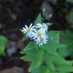 シラヤマギク 花の咲いている様子