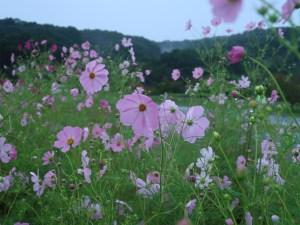 コスモス 花の咲いている様子