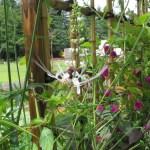 ネコノヒゲ 花の姿