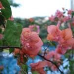 ブーゲンビリア 薄オレンジリオの花の姿