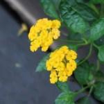 キバナランタナ 花の姿