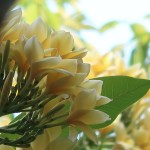 プルメリア 花の姿(黄花)