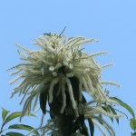クリ 花の咲いている様子