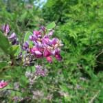 チョウセンキハギ 花の咲いている様子