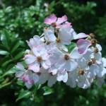 ノイバラの近縁 アズマイバラ 花の様子