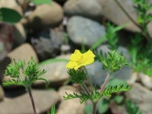 カワラサイコ 花の咲いている様子