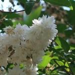 ウツギ(サラサウツギ)花の姿