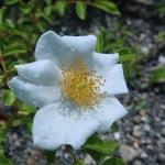 テリハノイバラ 花の姿
