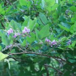 キハギ 花の咲いている様子
