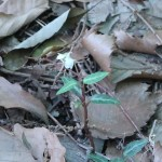 ウメガサソウ 花の様子