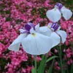 ハナショウブ 花の姿 品種:相生