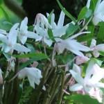 セッコク 花の咲いている様子