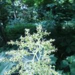 ヤグルマソウ 花の姿(花の終わり)