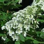カシワバアジサイ 花の様子