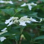 ヤマアジサイ ベニガク (花の姿 若い花)