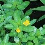 Ludwigia stipulacea/ ミズキンバイ