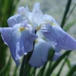 ハナショウブ 薄水色の花