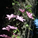 クレマチス 花の咲いている姿