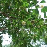 ヒメシャラ 花の咲いている様子