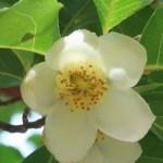 ヒメシャラ 花の姿 アップ