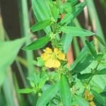キバナミソハギ 花の姿