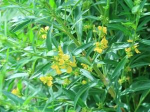 キバナミソハギ 花の咲いている様子