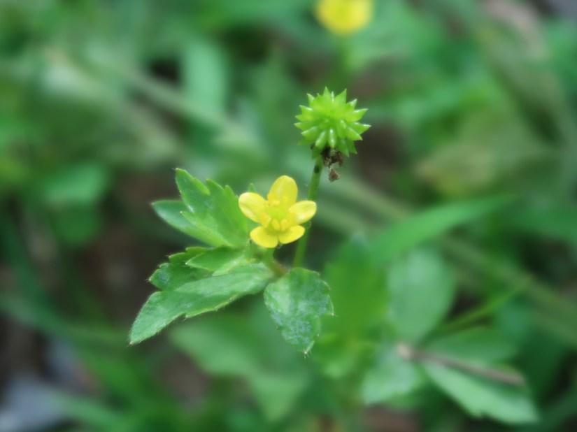 Ranunculus cantoniensis/ ケキツネノボタン