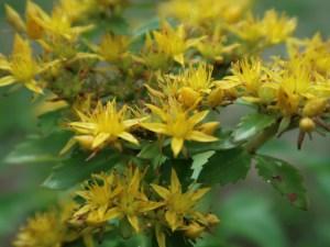 ホソバノキリンソウ 花の姿 アップ