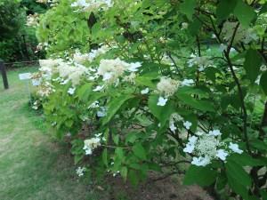 ノリウツギ 花の咲いている様子