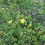 キンロバイ 花の咲いている様子
