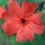 マツモトセンノウ 花の姿 アップ