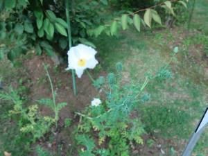 シロアザミゲシ 花の咲いている様子